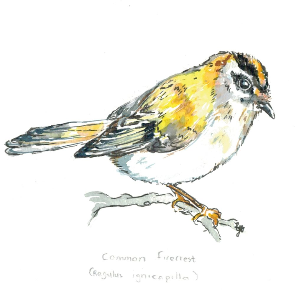 common-firecrest
