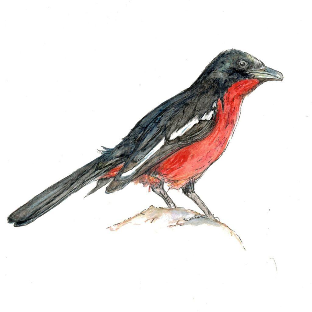 crimson-breasted-shrike